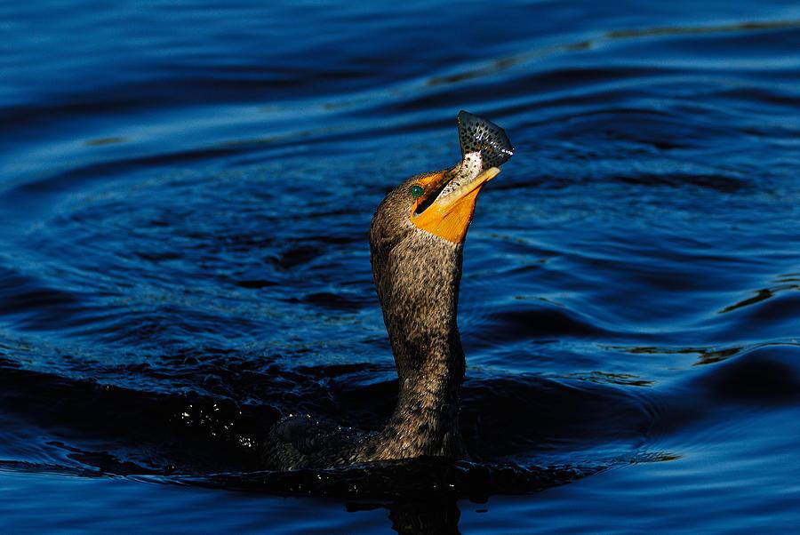 Cormorant Photograph - Gone Fishing by Stefan Carpenter