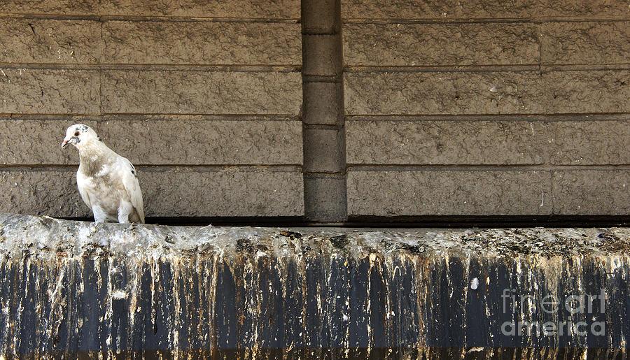 Bird Photograph - Good Luck Pigeon by Mark Thomas