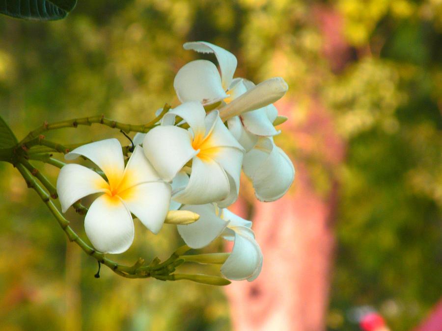 Good morning flowers by paresh bhanusali white flower photograph good morning flowers by paresh bhanusali mightylinksfo