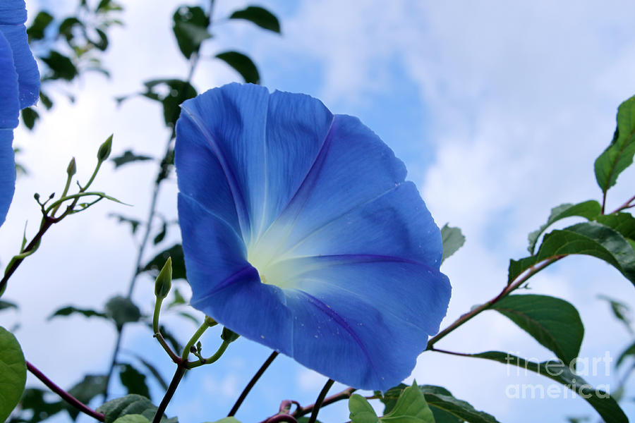 Good Morning Glory Photograph By Cathy Beharriell