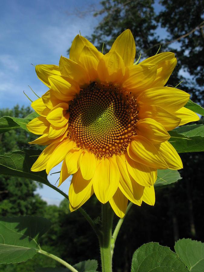 Sunflower Photograph - Good Morning by Laura Corebello