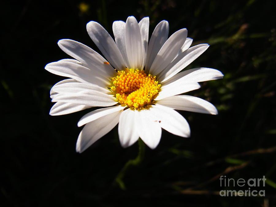 Floral Photograph - Good Morning Sunshine by Agnieszka Ledwon