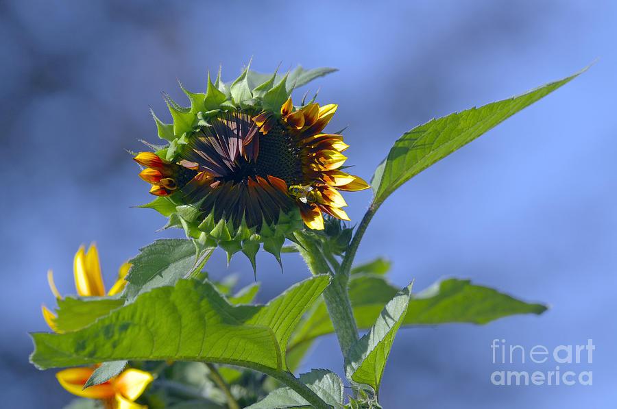 Sunflower Photograph - Good Morning Sunshine by Sharon Talson