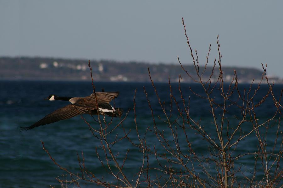 Goose Photograph - Goose by Brady D Hebert