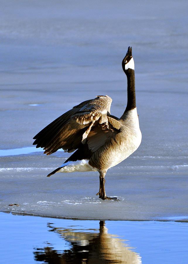 Goose Photograph - Goose Prayer by RJ Martens