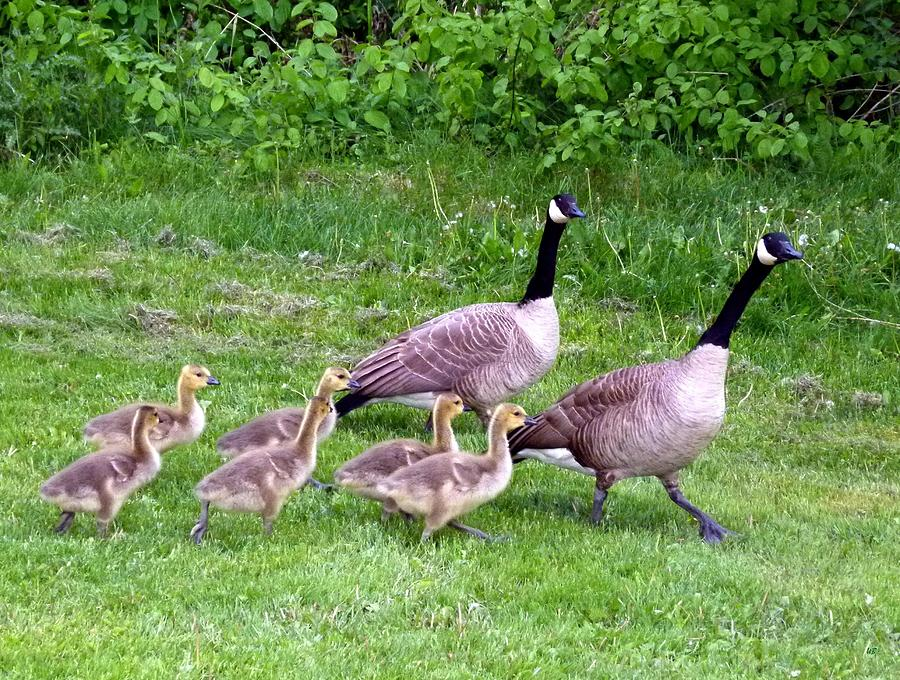 Canada Geese Photograph - Goose Step by Will Borden