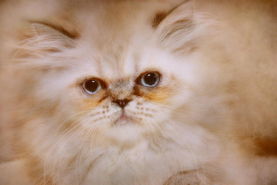 Himalayan Kittens Photograph - Gordon by Pat Abbott