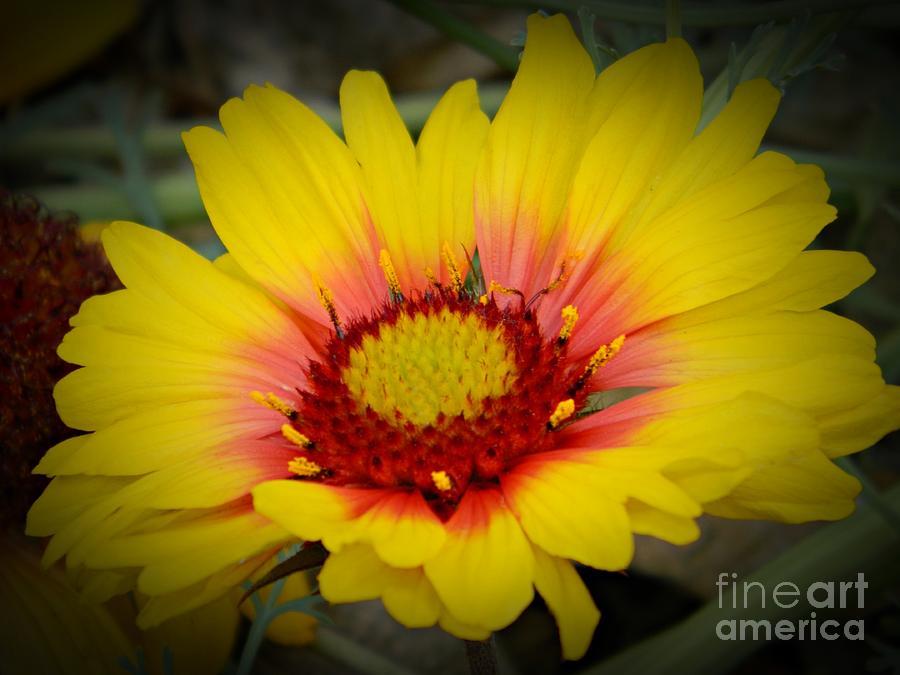 Daisy Photograph - Gorgeous Daisy by Chalet Roome-Rigdon