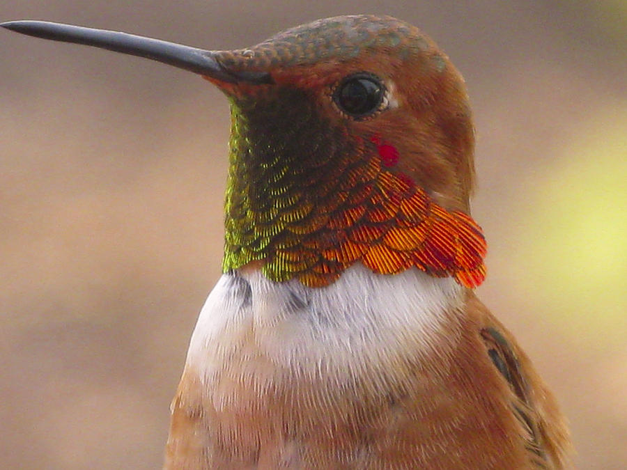 Rufus Hummingbird Photograph - Gorgeous George by Diane Schuster