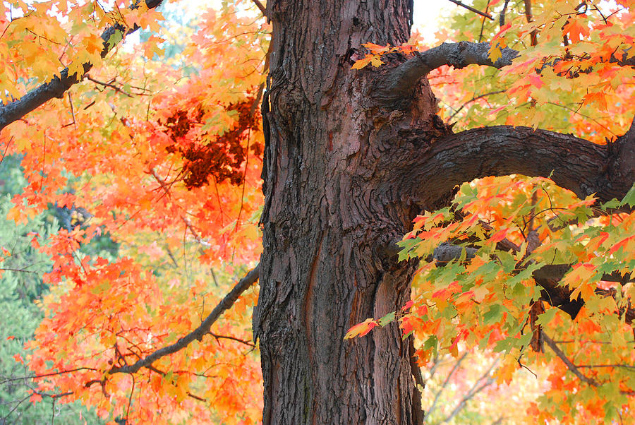 Fall Photograph - Gorgeous Tree by Lorena Mahoney