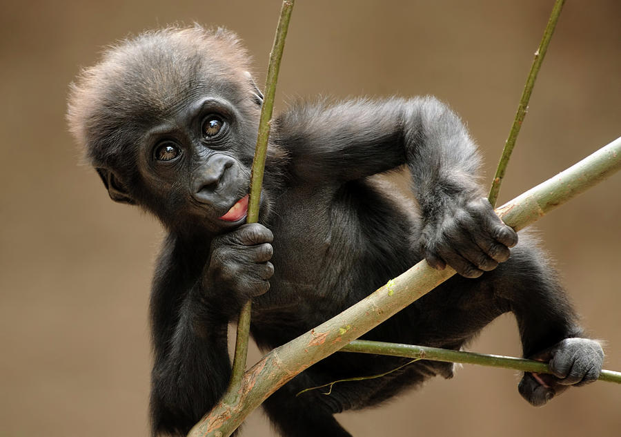 Gorilla Baby Photograph by Freder