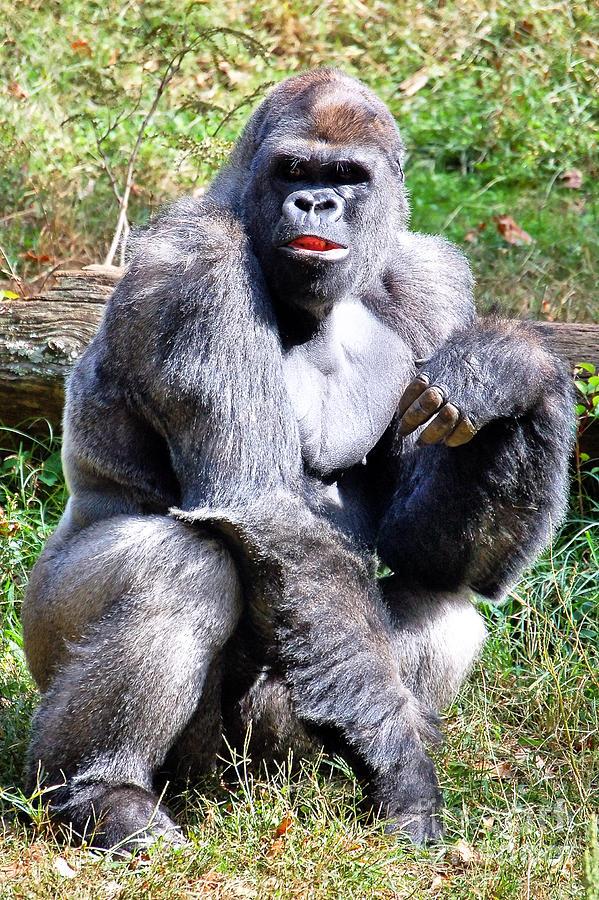 Gorilla Photograph - Gorilla by Kathleen K Parker