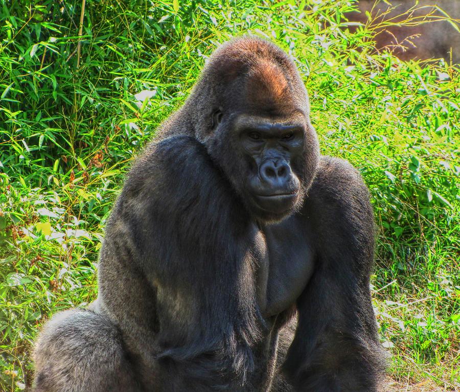 ef5147623b9fa Gorilla Photograph - Gorilla Portrait by C H Apperson
