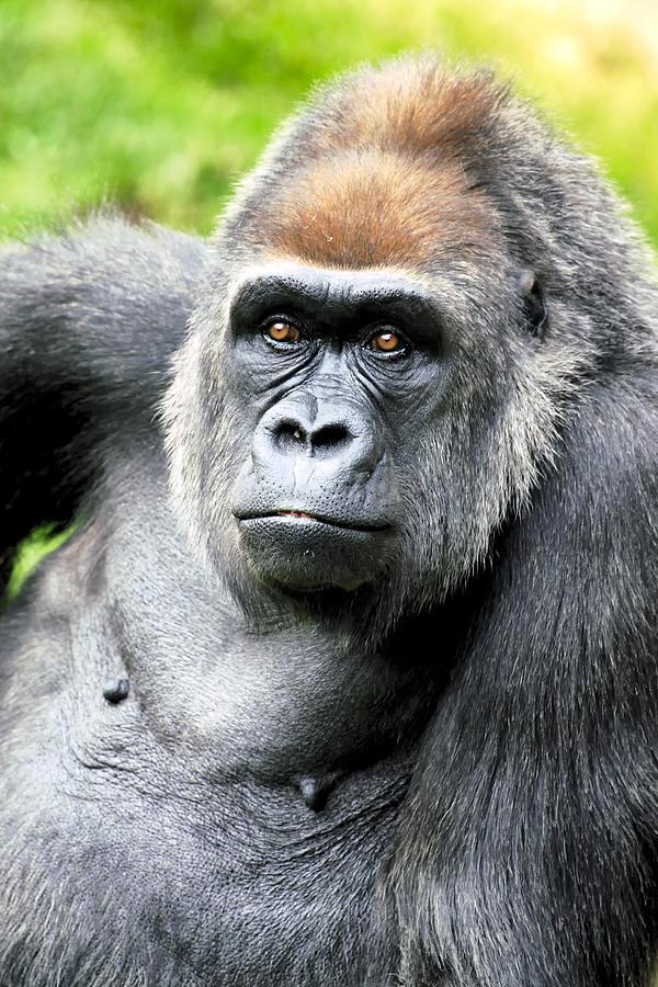 Gorilla Photograph - Gorilla pose by Goyo Ambrosio