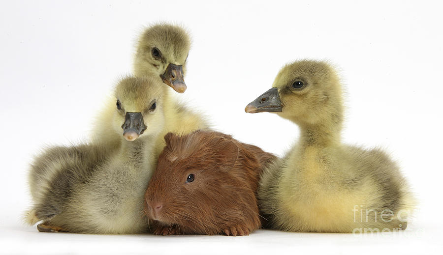 Gosling Photograph - Gosling And Baby Guinea Pig by Mark Taylor