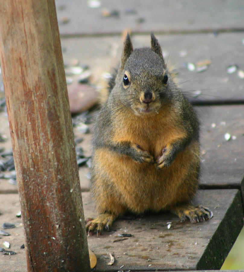 Douglas Squirrel Photograph - Got Food? by Kym Backland