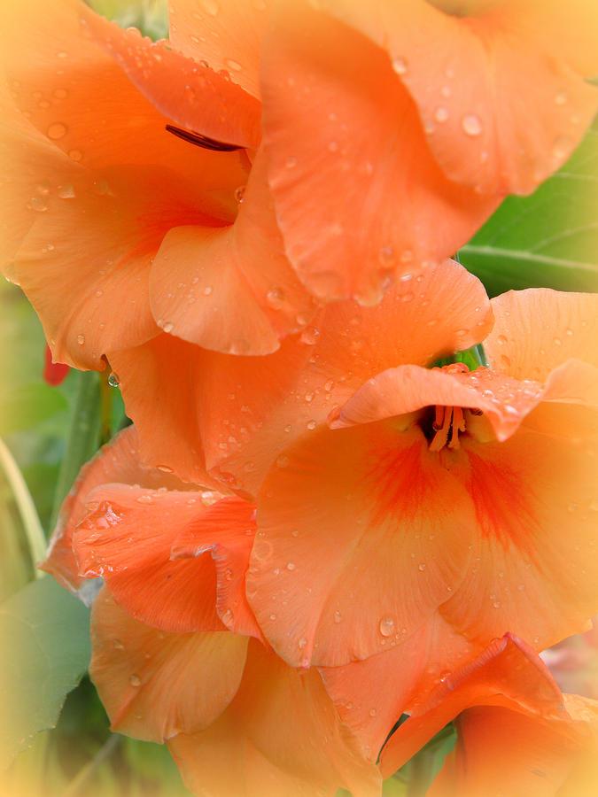 Gladiola Photograph - Got Peach by Kim Galluzzo Wozniak
