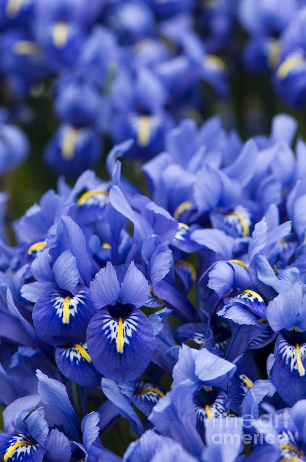 Iris Photograph - Got The Iris Blues by Anne Gilbert