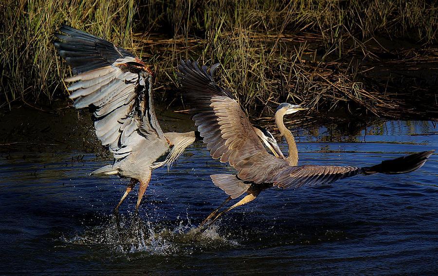 Great Blue Heron Photograph - Gotcha by Paulette Thomas