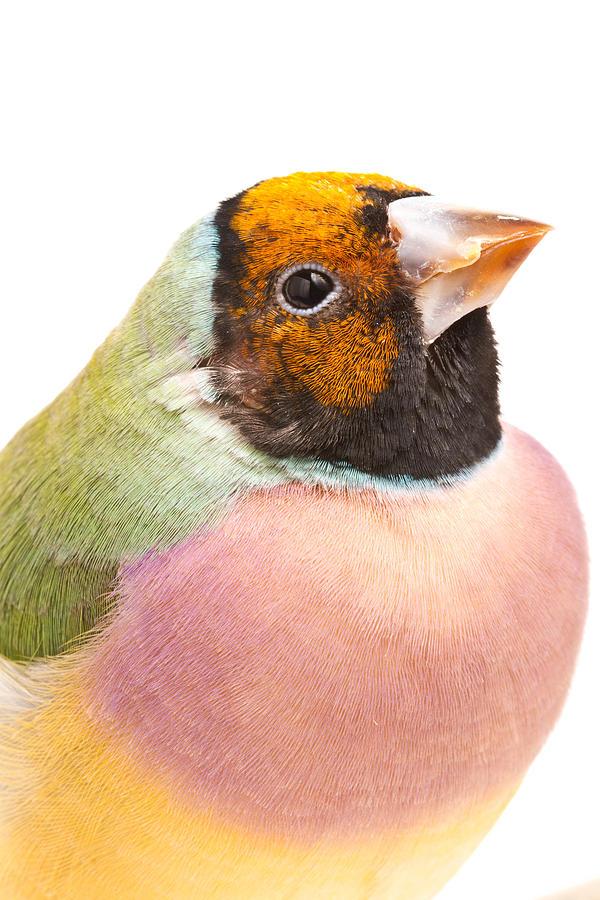 Animal Photograph - Gouldian Finch Erythrura Gouldiae by David Kenny