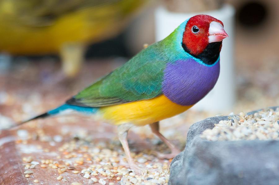 Beak Photograph - Gouldian Finch by Gaurav Singh
