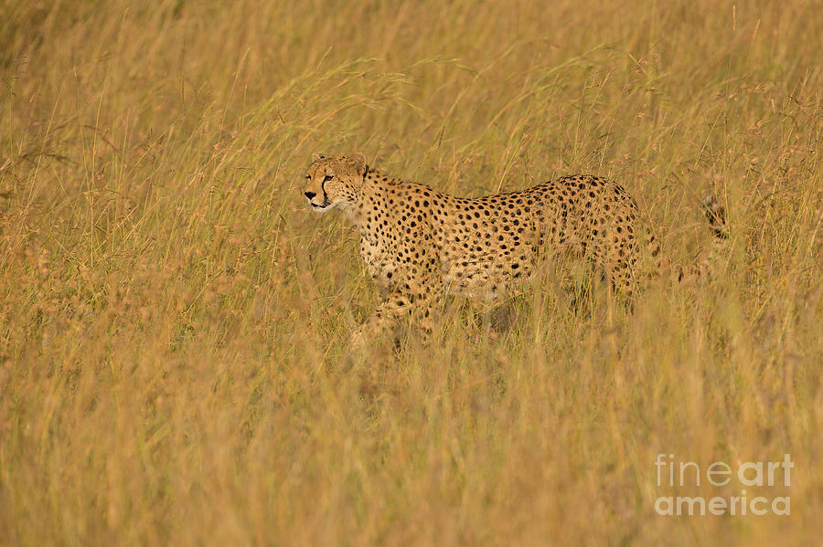 Acinonyx Jubatus Photograph - Grace And Elegance by Ashley Vincent