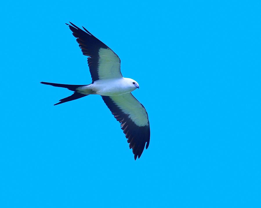 Swallow-tailed Kite Photograph - Grace And Majesty by Tony Beck