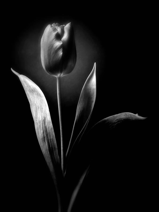 Black and white tulips flowers art work photography by artecco fine art photography