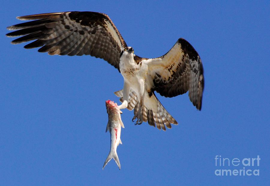 Osprey Photograph - Grace In The Sky by Quinn Sedam