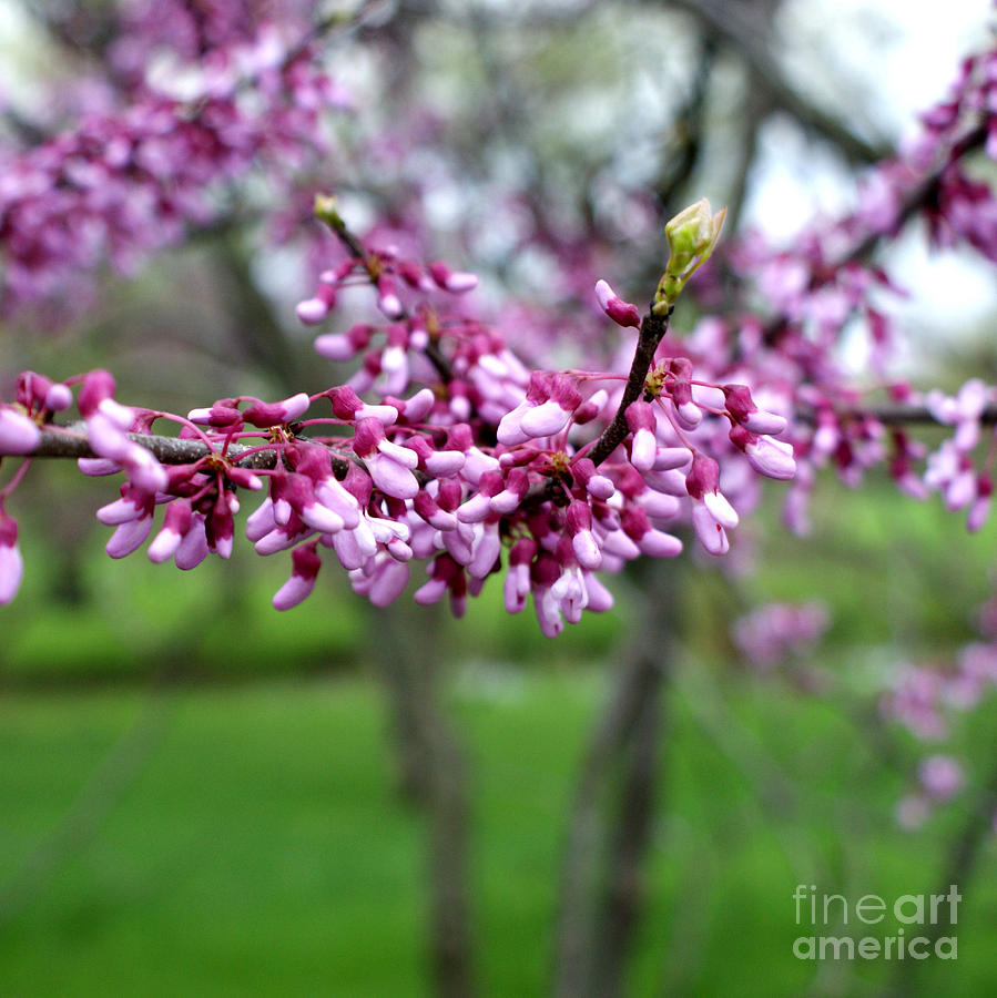 Redbud Photograph - Grace by Valerie Fuqua