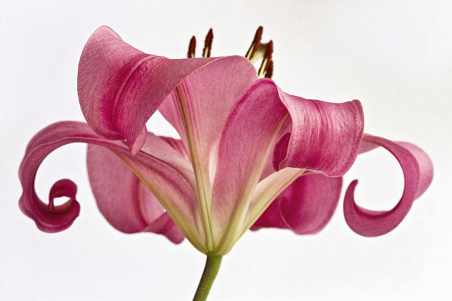 Single Flower Photograph - Graceful Lily by Kim Andelkovic