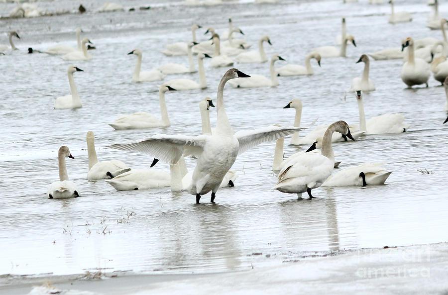 Swan Photograph - Graceful by Lori Tordsen