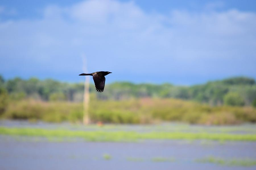 Grackle Photograph - Grackle In Flight by Bonfire Photography
