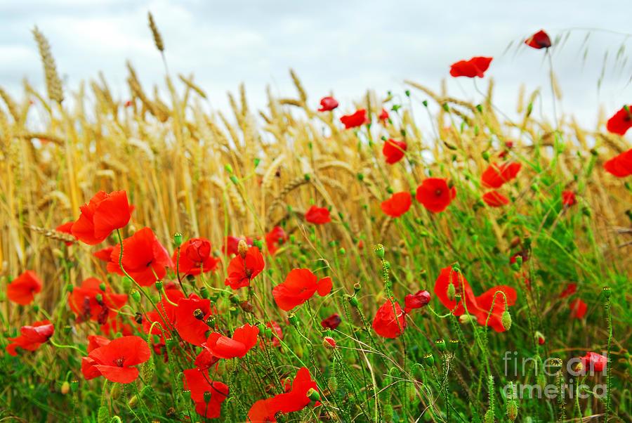 Poppy Photograph - Grain And Poppy Field by Elena Elisseeva
