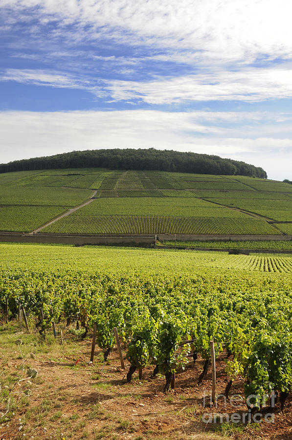 Agriculture Photograph - Grand Cru And Premier Cru Vineyards Of Aloxe Corton. Cote De Beaune. Burgundy. France. Europe. by Bernard Jaubert