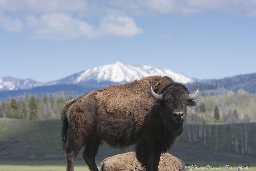 Bison Photograph - Grand Tetons Bison by Charles Warren