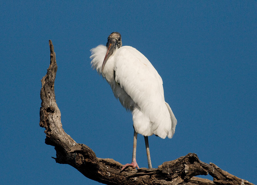 Crane Photograph - Grandfather Perched by Linda Olsen