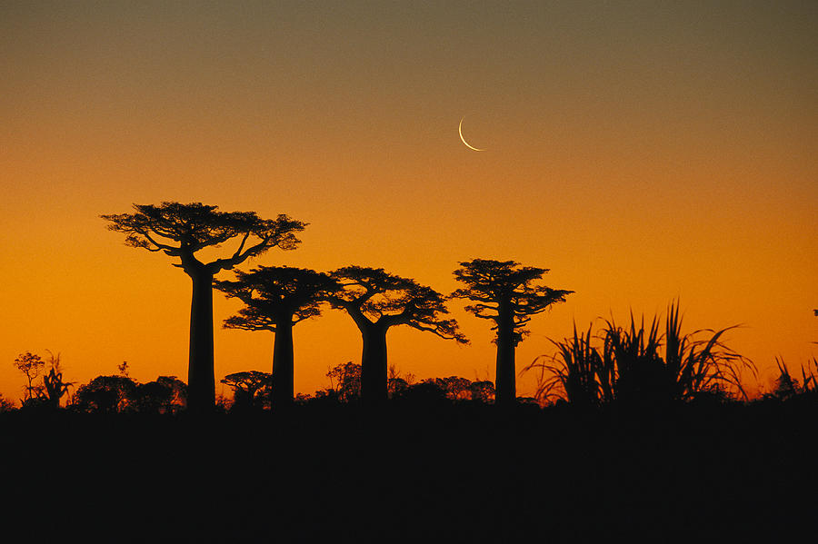Grandidiers Baobab Trees And Moon Photograph by Konrad Wothe