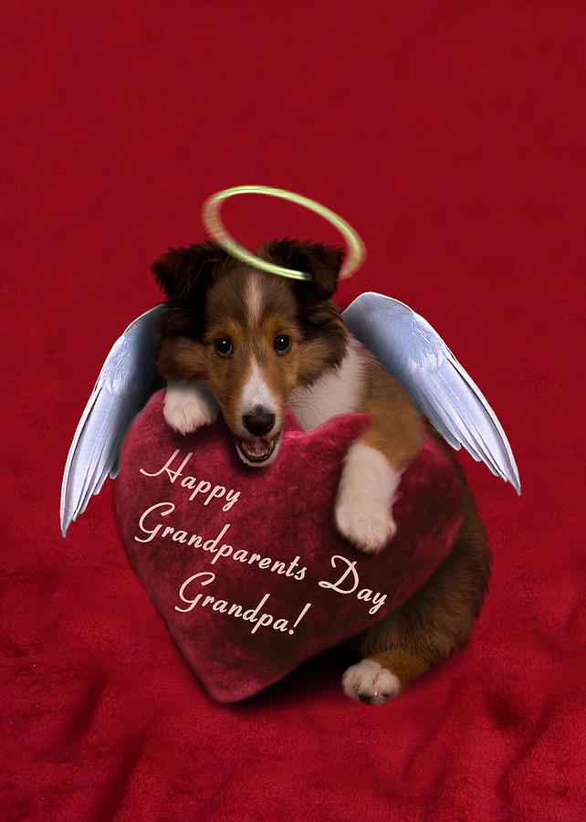 Halo Photograph - Grandparents Day Grandpa Angel Sheltie by Jeanette K