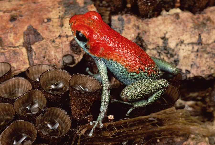 Granular Poison Dart Frog Costa Rica Photograph by Mark Moffett