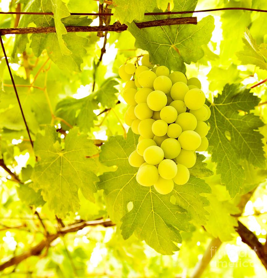 Autumn Photograph - Grape Branch by Anna Om