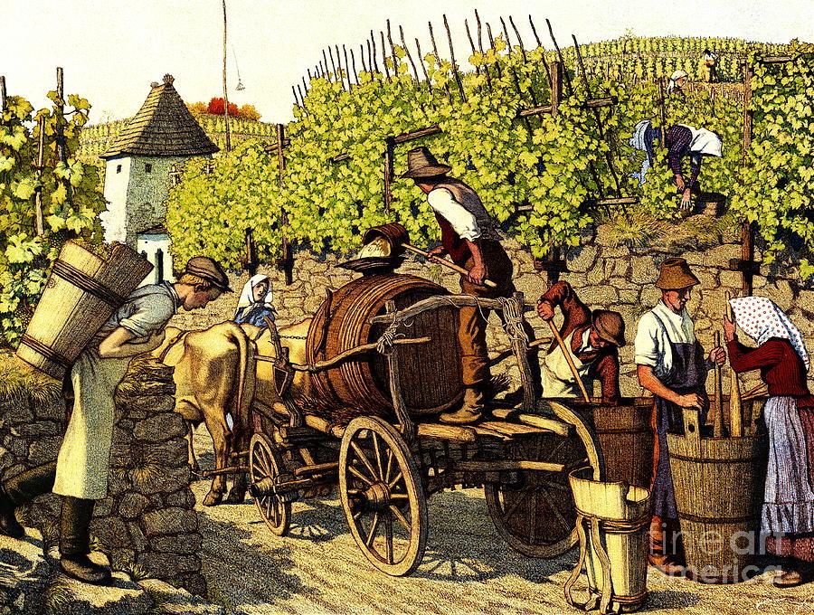 Grapes Photograph - Grape Harvest 1890 by Padre Art