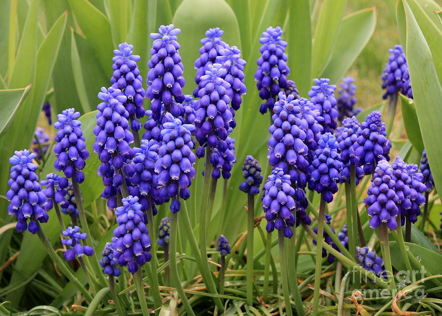 Grape Hyacinth Photograph By Carol Groenen