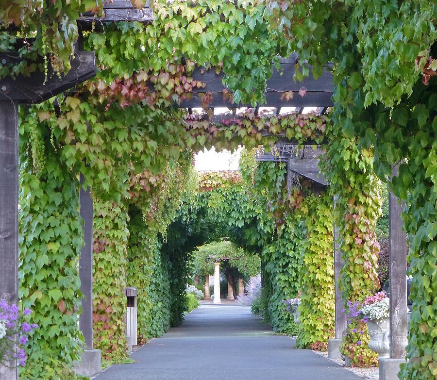 Grape Vine Covered Arbor Photograph By K L Kingston