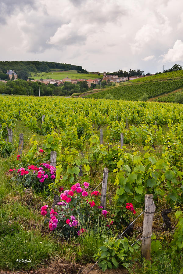 France Photograph - Grapes And Roses by Allen Sheffield