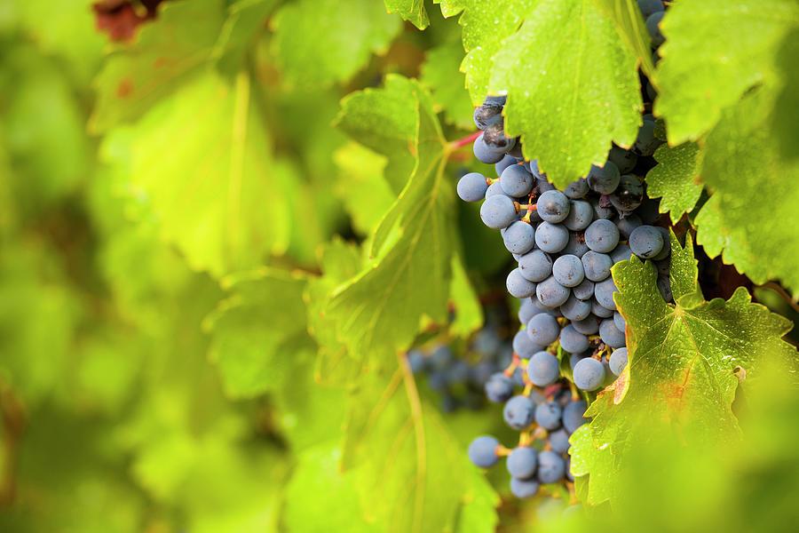 Grapes For Winemaking, Barcelona, Spain Photograph by Carlos Sanchez Pereyra