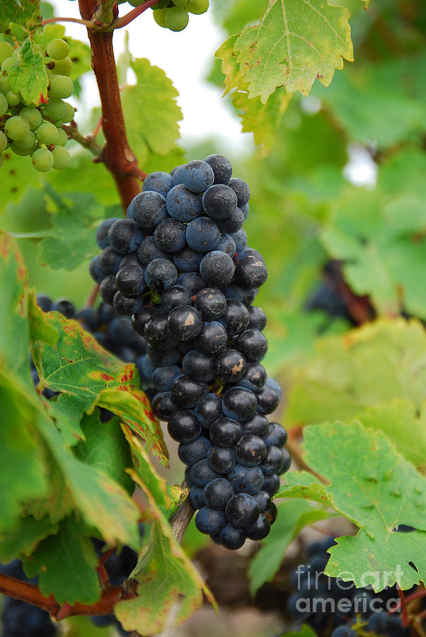 Grapes Photograph - Grapes by Hannes Cmarits