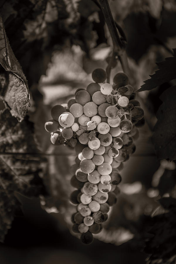 Landscape Photograph - Grapes In Grey 3 by Clint Brewer