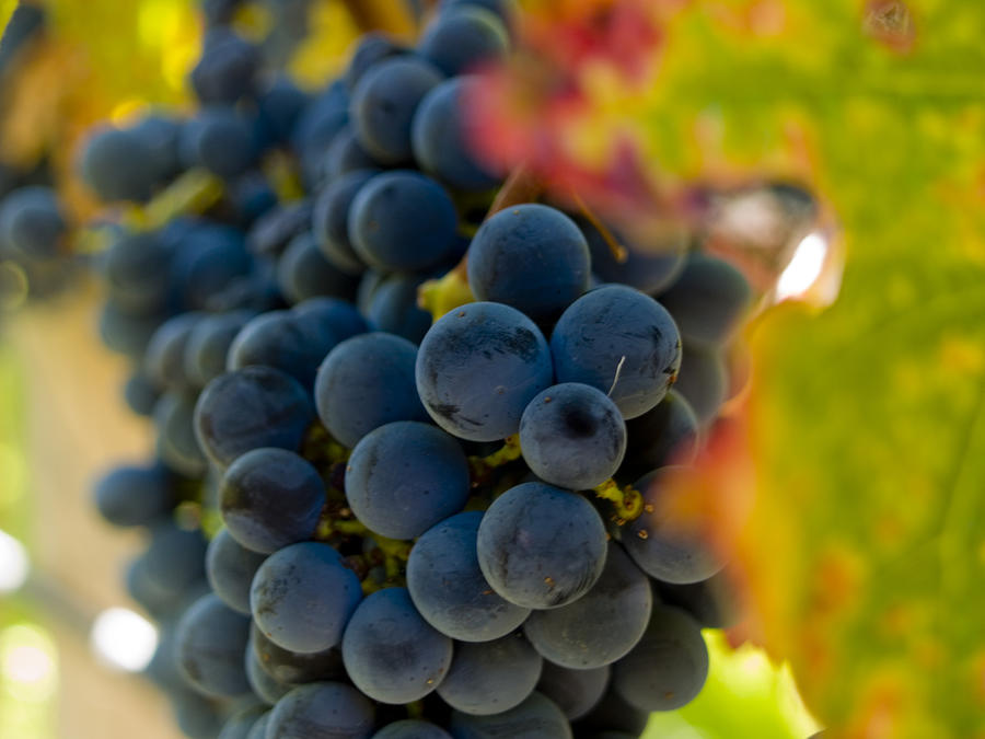Grape Photograph - Grapes On The Vine by Bill Gallagher