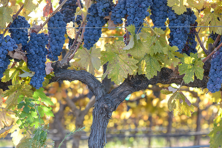 Grapes On The Vine Photograph By Brandon Bourdages